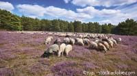 3 Tage - Lüneburger Heide – Im Land der Heidschnucken